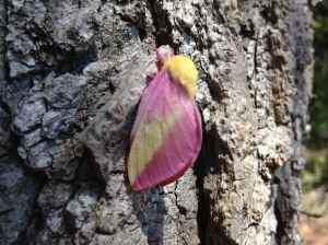 Rosy Maple Moth 21Apr2014 copy