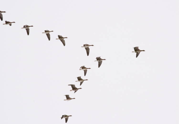 geese-in-flight-1392071-1279x889