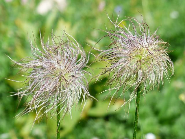 alpine-anemone-181691_640