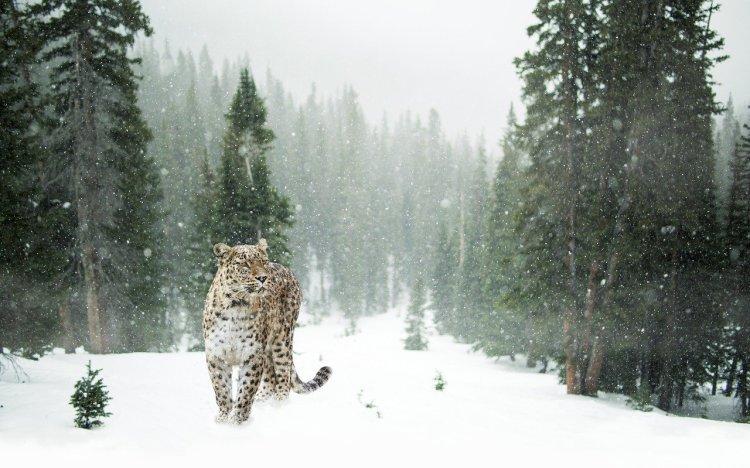 persian-leopard-1647940_1280.jpg